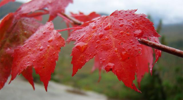 rotes-ahornblatt