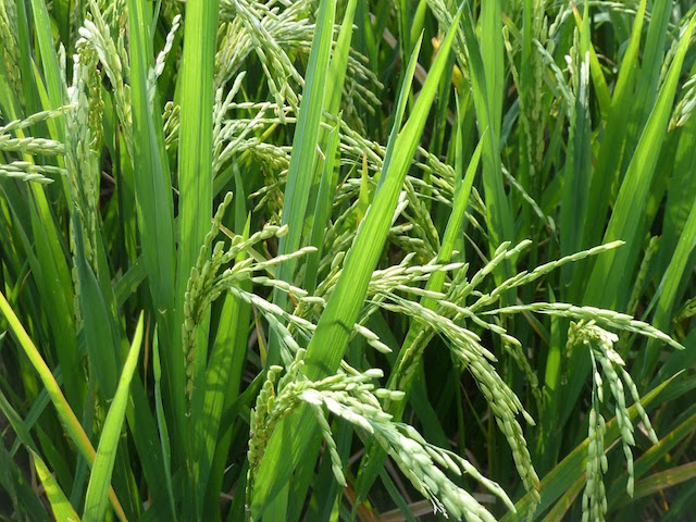 2_Reispflanze