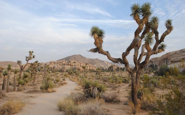 Yucca-Joshua-Tree