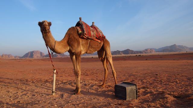 Kamel in Wadi Rum Jordanien