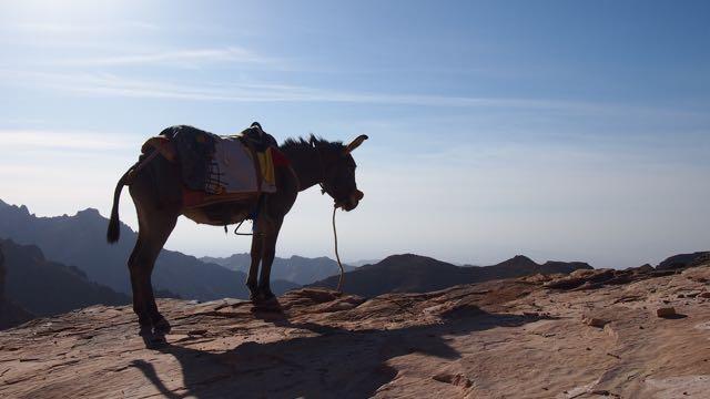 Esel in Petra Jordanien
