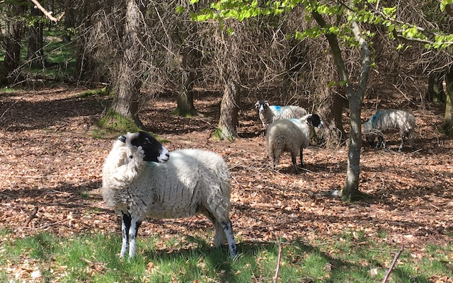 Schafe in England