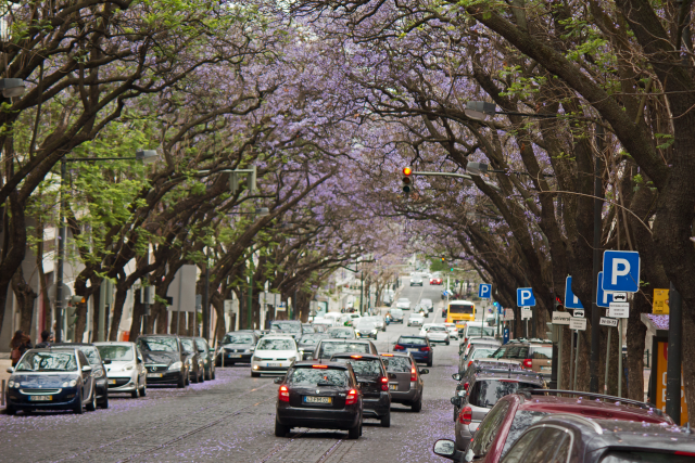 Jacarandas Lissabon